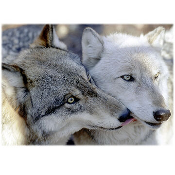 Lori A. Davis Photo Card - Kissing Wolves