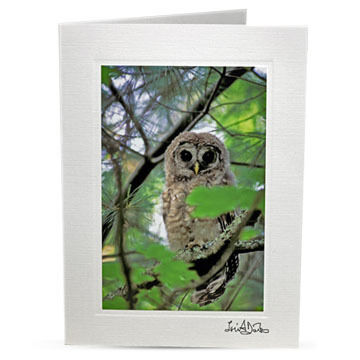 Lori A. Davis Photo Card - Barred Owl