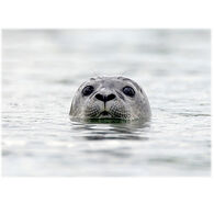 Lori A. Davis Photo Card - Harbor Seal
