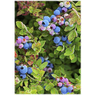 Lori A. Davis Photo Card - Blueberry Mix