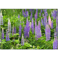Lori A. Davis Photo Card - Lupine