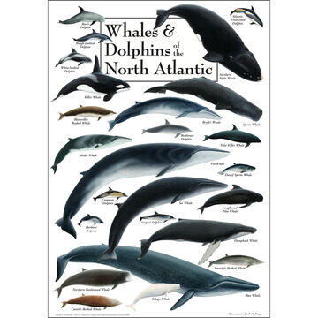 Whales & Dolphins of the North Atlantic Poster