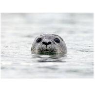 Lori A. Davis Photo Card - Harbor Seal