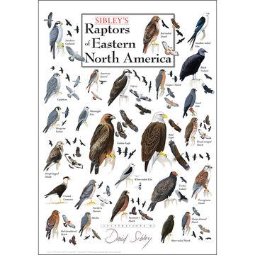 Sibley's Raptors of Eastern North America Poster